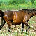 Florida Spanish Horse by Millard H. Sharp