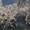 Flowering Almond by Guido Montanes Castillo