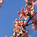 Flowering Peach Tree by Dan Radi