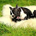 French Bulldoggs by Heike Hultsch