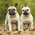French Bulldogs by Jean-Michel Labat
