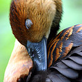 Fulvous Whistling Duck by Karol Livote