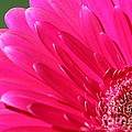Gerbera Daisy Named Raspberry Picobello by J McCombie