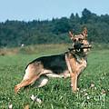 German Shepherd by Hans Reinhard