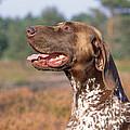 German Short-haired Pointer Dog by John Daniels