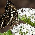 Giant Swallowtail Butterfly  by Saija  Lehtonen