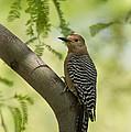 Gila Woodpecker  by Saija  Lehtonen