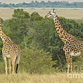 Giraffe by John Shaw
