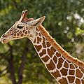 Giraffe by Les Palenik