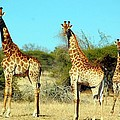 Giraffes by FL collection