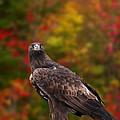 Golden Eagle by Les Palenik