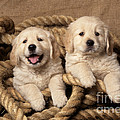 Golden Retriever Puppies by John Daniels