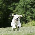 Golden Retriever Puppy by John Daniels