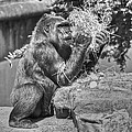Gorilla Eats Black And White by SC Heffner