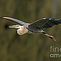 Great Blue Heron by Anthony Mercieca