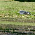 Great Blue Heron In Flight by Roy Williams