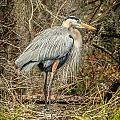 Great Blue Heron by Jane Luxton