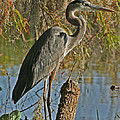 Great Blue Heron by Jeff Wright