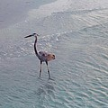 Great Blue Heron by Robert Floyd