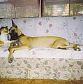 Great Dane And Calico Cat by Robert Floyd