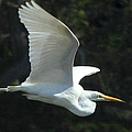 Great Egret by Frank Townsley