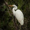 Great Egret by Joseph G Holland