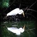 Great White Egret by Amanda Stadther