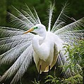 Great White Egret In Breeding Plumage by Paulette Thomas