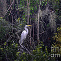 Lowcountry Marsh White Heron by Dale Powell