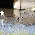 Great White Heron by Robert Floyd