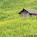 Green Corn Field by Apisit Sriputtirut