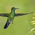 Green-crowned Brilliant by Anthony Mercieca