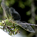 Green Dragonfly by Betty Depee