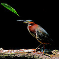 Green Heron by Stuart Harrison