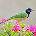 Green Jay (cyanocorax Yncas by Larry Ditto
