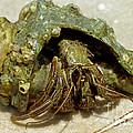Green Striped Hermit Crab by Millard H. Sharp