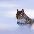 Grey Squirrel In Snow by Jeff Sinon