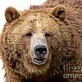 Grizzly Close-up Isolated On White  by Sylvie Bouchard