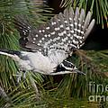 Hairy Woodpecker by Anthony Mercieca