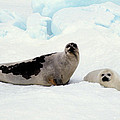 Harp Seals On Hudson Bay by Carl Purcell