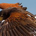 Harris Hawk Approach by J L Woody Wooden