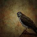 Hawk by Heike Hultsch