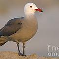 Heermanns Gull by John Shaw