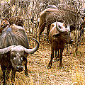 Herd Of Cape Buffaloes Syncerus Caffer by Panoramic Images
