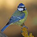 Herrerillo Blue Tit by Guido Montanes Castillo