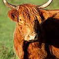Highland Cow by Brian Jannsen