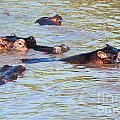 Hippopotamus Group In River. Serengeti. Tanzania. by Michal Bednarek