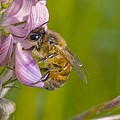 Honey Bee Feeding On Flower by Science Photo Library