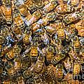 Honey Bees In Hive by Millard H. Sharp