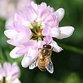Honeybee On Crown Vetch by Lucinda VanVleck
